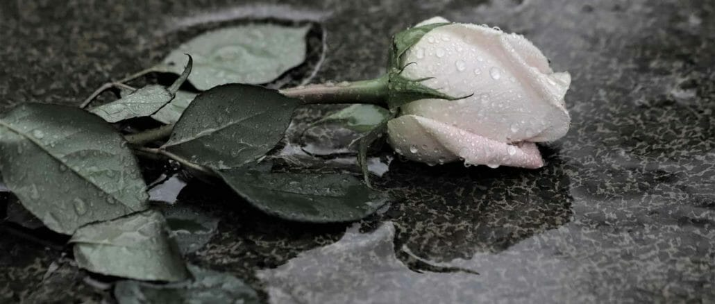 Pinke Rose im Regen